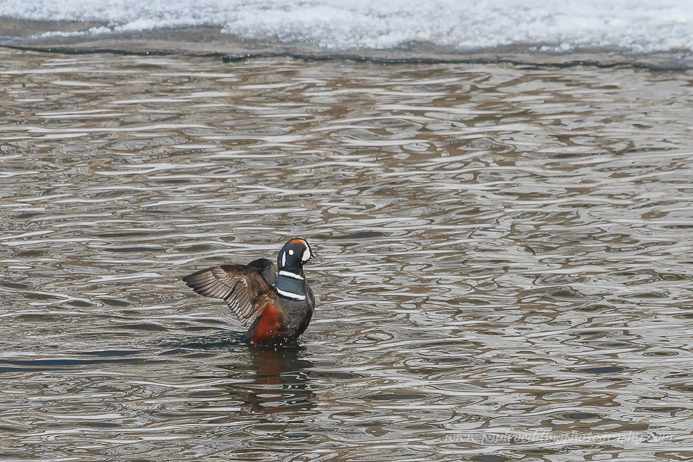 Male Harlequin Duck setting its wings after preening on the Thames River.