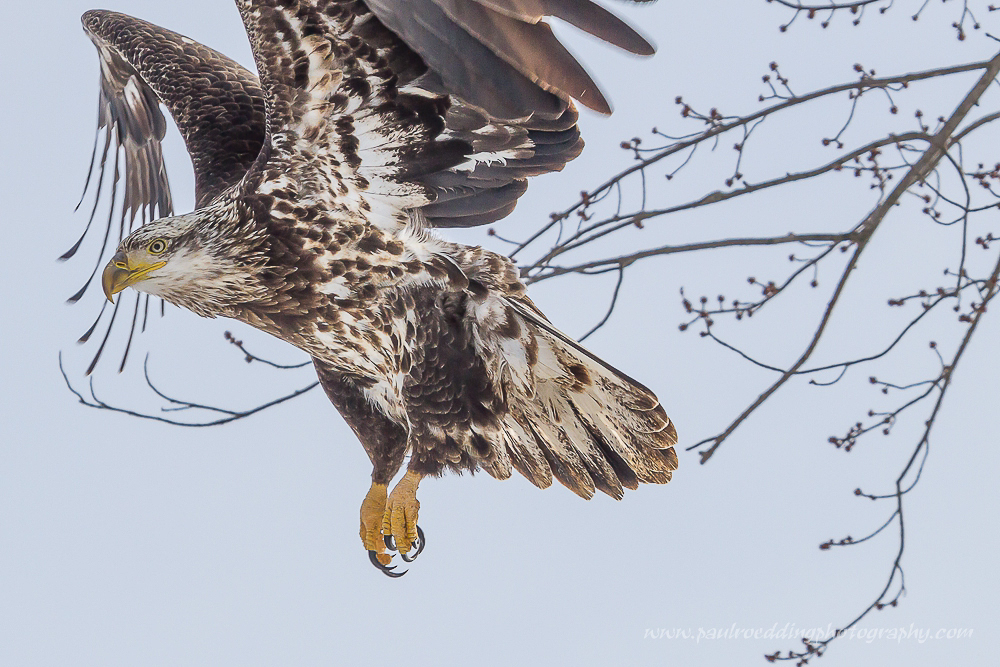 Light conditions are constantly changing in wildlife photography. Being able to quickly adjust my camera settings from shooting a cardinal perched in a dark spruce tree to this juvenile Bald Eagle landing against an overcast sky is what captured this image, not the price of my camera or lens.