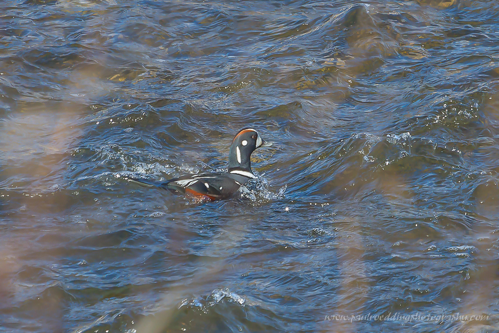 Harlequin Duck swimming in fast moving water.