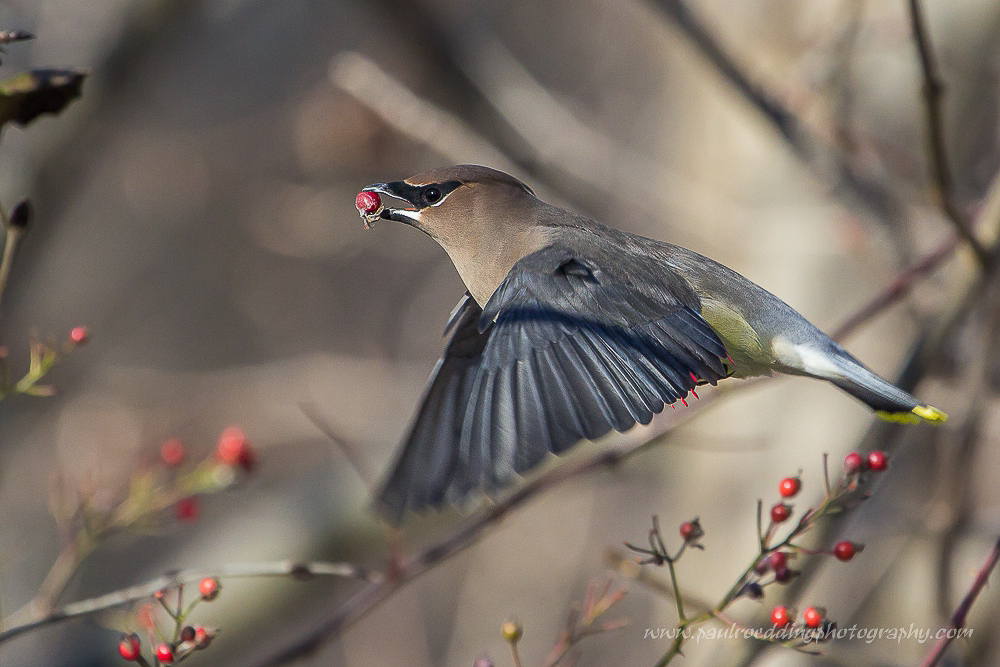 Photographing fast moving birds is quite challenging. Knowing what camera settings to use and how to quickly adjust them are key to capturing an image.