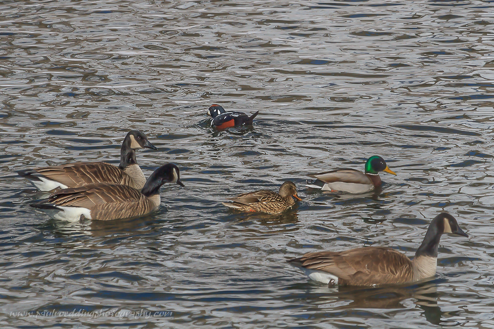 Male Harlequin duck swimming with Mallards and Canada Geese on the Thames River in London, Ontario.