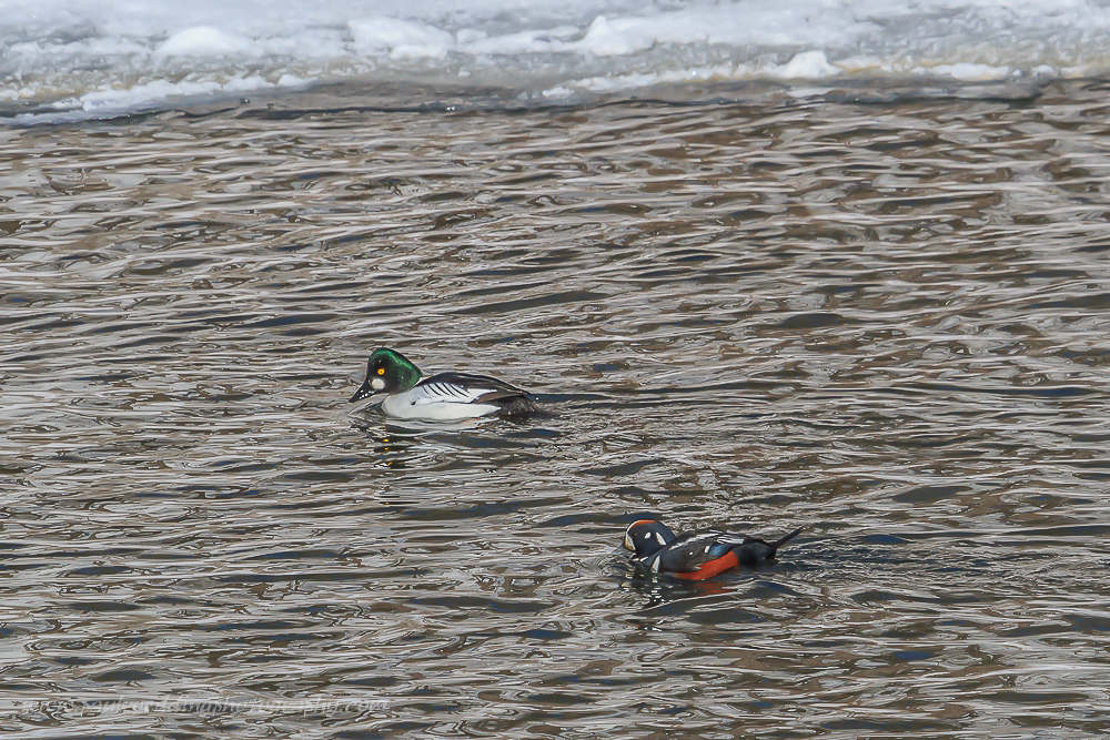 Male Common Goldeneye and male Harlequin Duck swimming on the Thames River in London, Ontario with ice in the background.