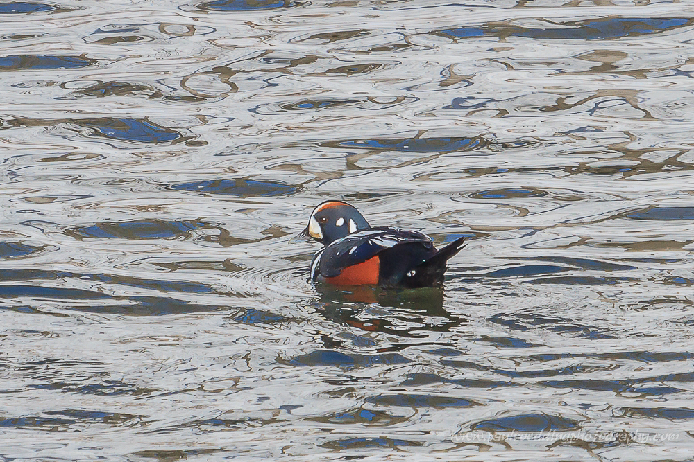 Over half of the eastern population of Harlequin Ducks overwinter off coastal Maine. Luckily for area birders, this male Harlequin Duck can be observed on the Thames River in London, Ontario.