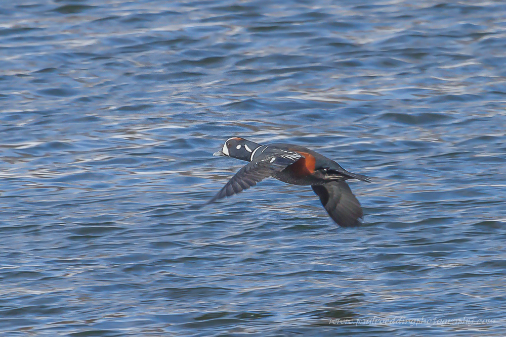 Male Harlequin Duck in flight just above the Thames River in London, Ontario.