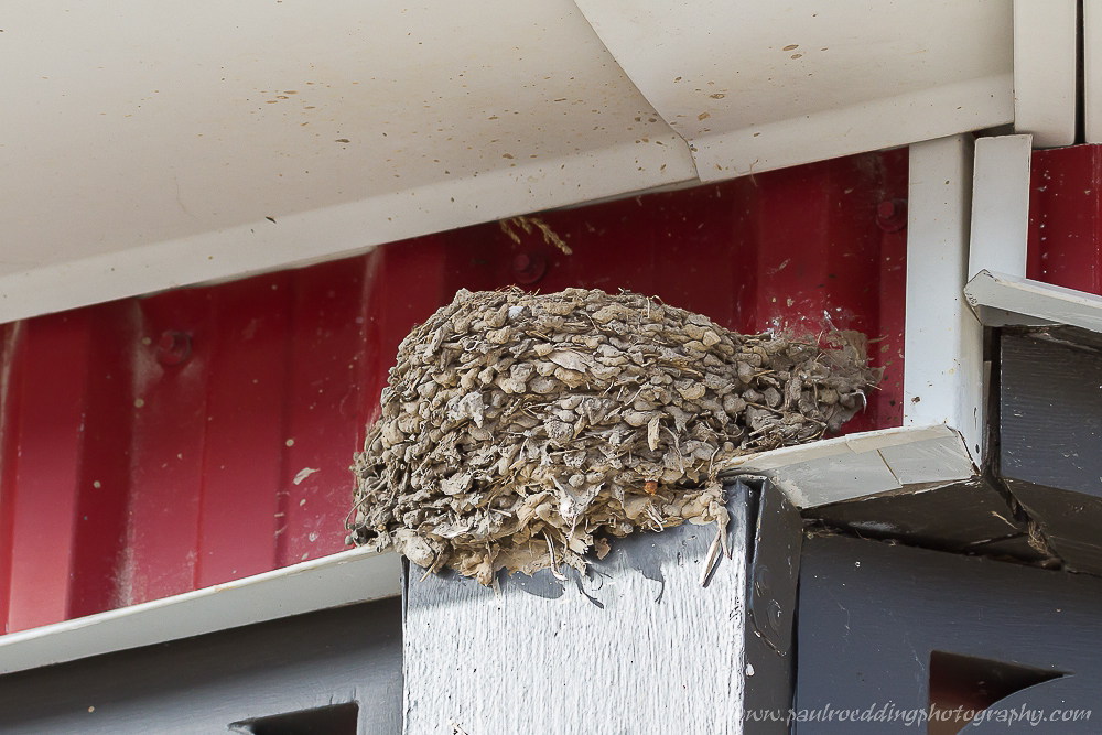 Barn Swallow nest under an eaves trough.