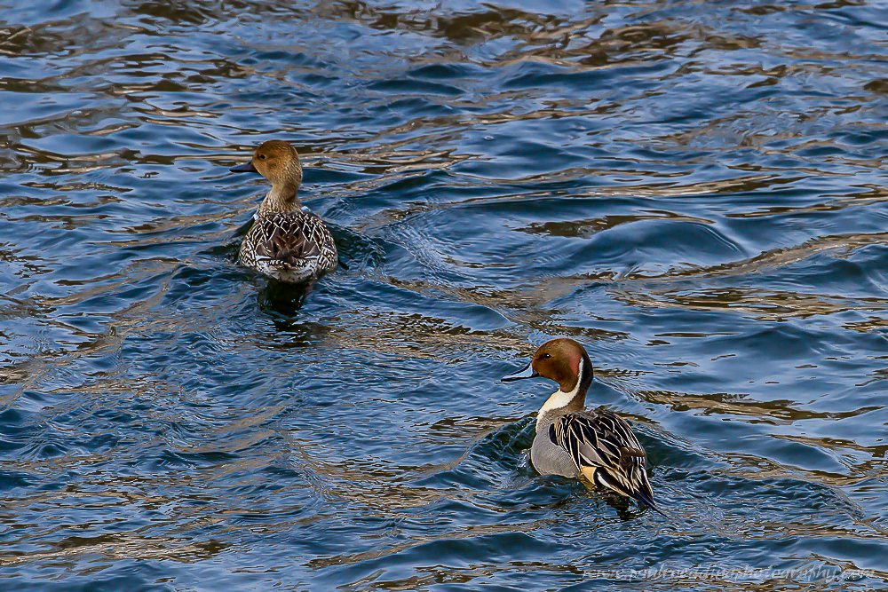 Male and female Northern Pintail.