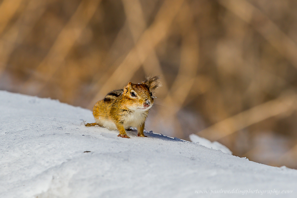 Eastern Chipmunk emerging form the snow.