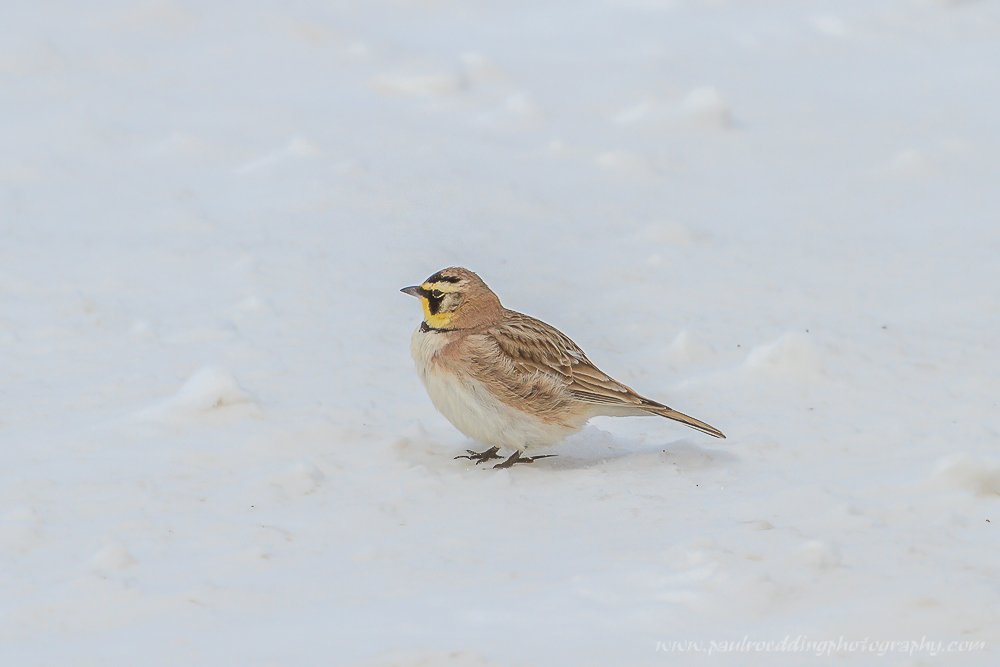 Watermark 1 61 - Time Is Running Out For Winter Birding