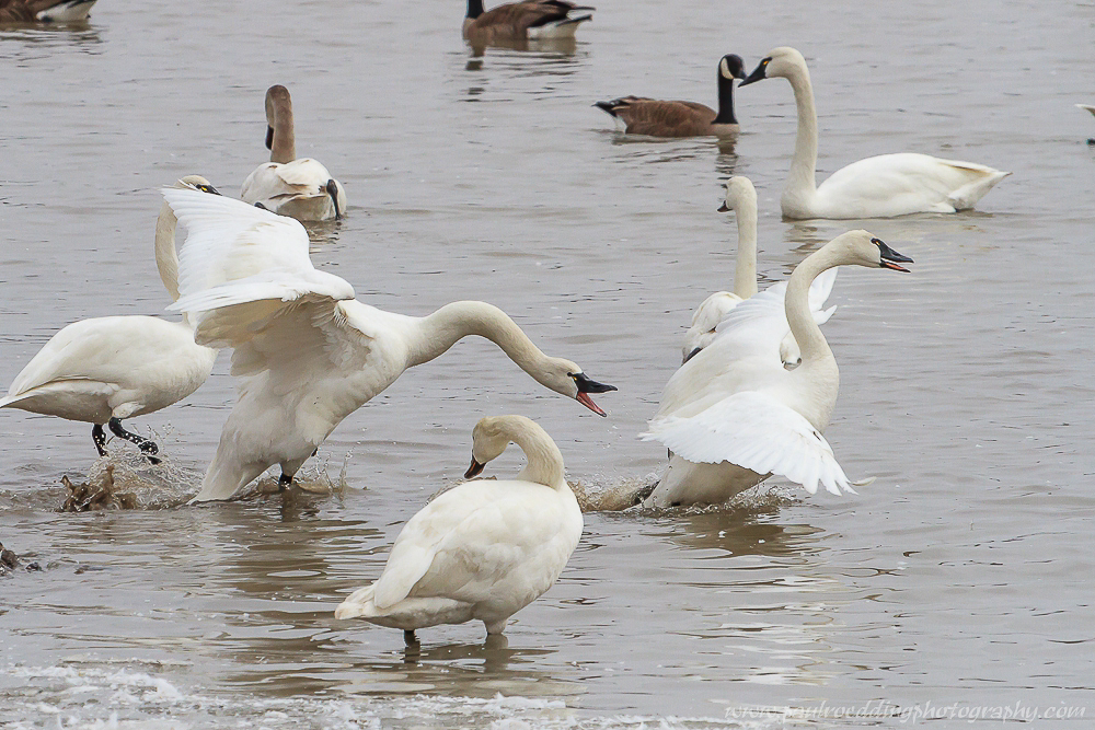 Watermark 1 10 - Tundra Swans Touch Down In Aylmer, Ontario