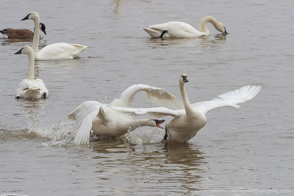 Watermark 1 11 - Tundra Swans Touch Down In Aylmer, Ontario