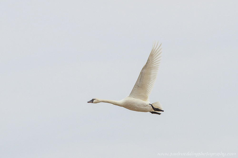 Watermark 1 12 - Tundra Swans Touch Down In Aylmer, Ontario