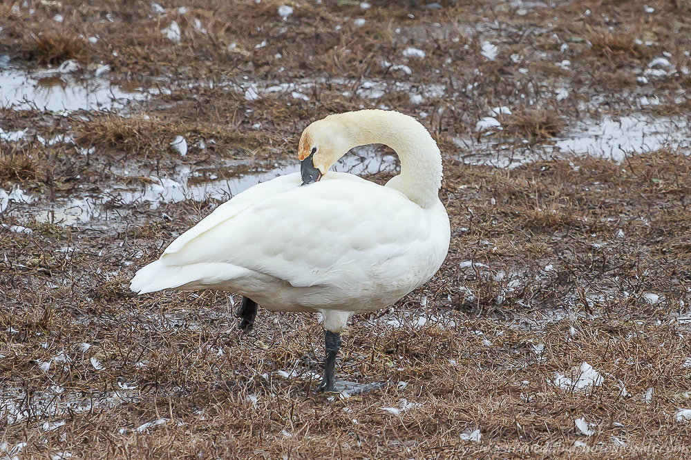 Watermark 1 13 - Tundra Swans Touch Down In Aylmer, Ontario