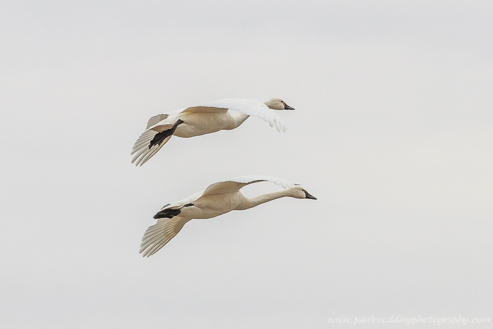 Watermark 1 2 - Tundra Swans Touch Down In Aylmer, Ontario