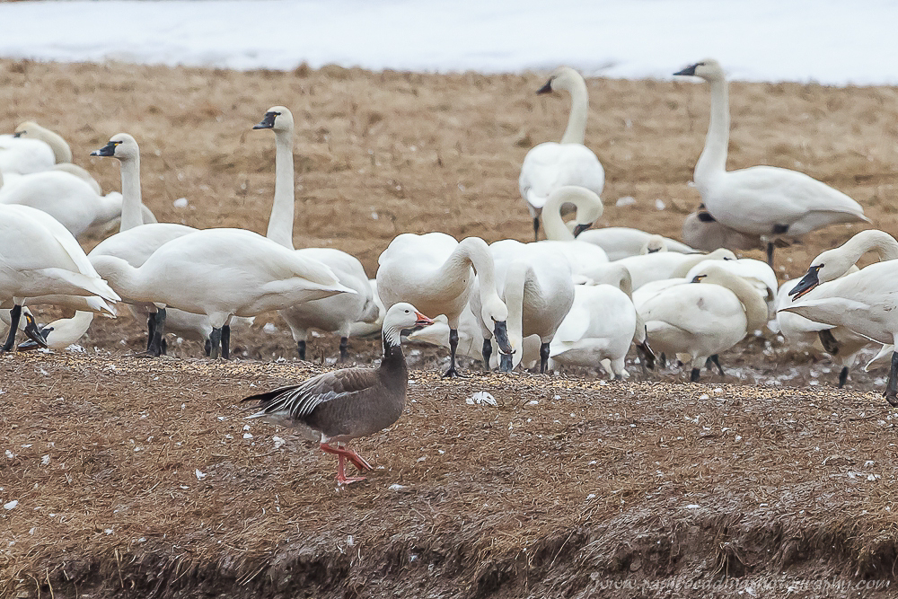 Watermark 1 21 - Tundra Swans Touch Down In Aylmer, Ontario