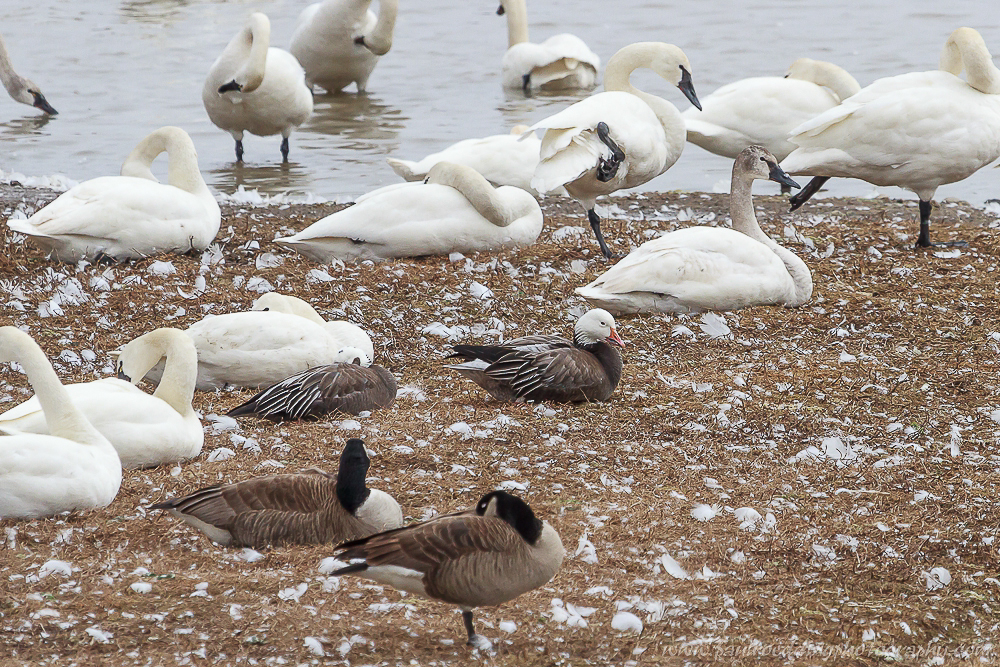 Watermark 1 6 - Tundra Swans Touch Down In Aylmer, Ontario