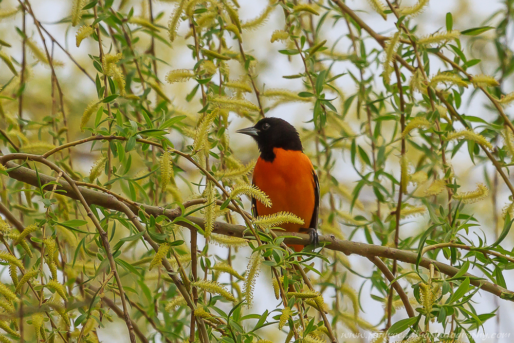 Male Baltimore oriole perched in a willow Tree.
