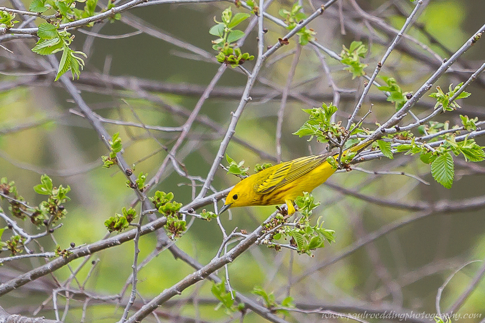 Yellow Warbler feeding on insects.