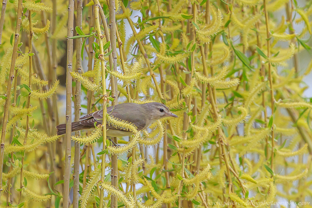 Watermark 1 7 - Spring Migration Heats Up <br> Across The Forest City