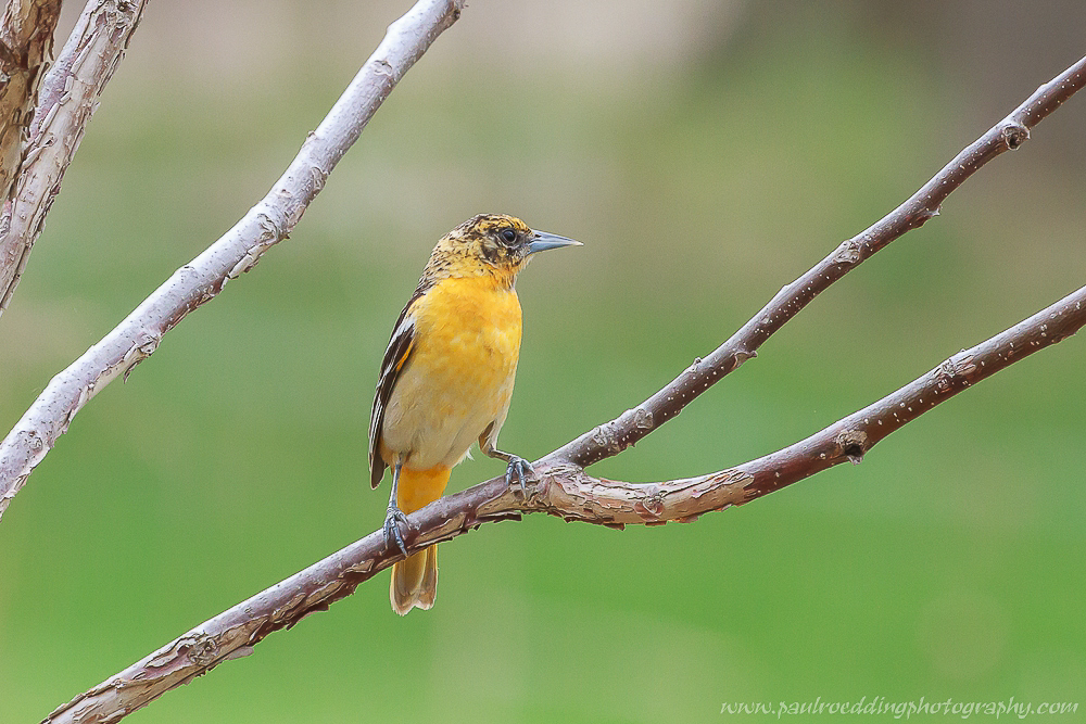 Female Baltimore Oriole perhed in a small tree during spring migration.