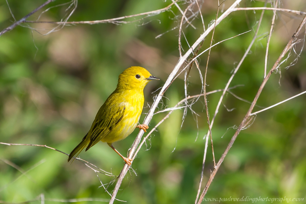 Female Yellow Warbler perched on a dead stalk of grass.