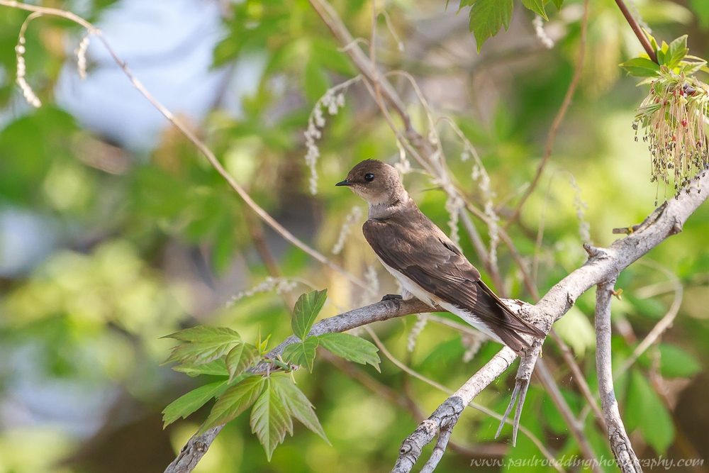 Northern Rough-winged Swallow perched in a Manitoba Maple tree.