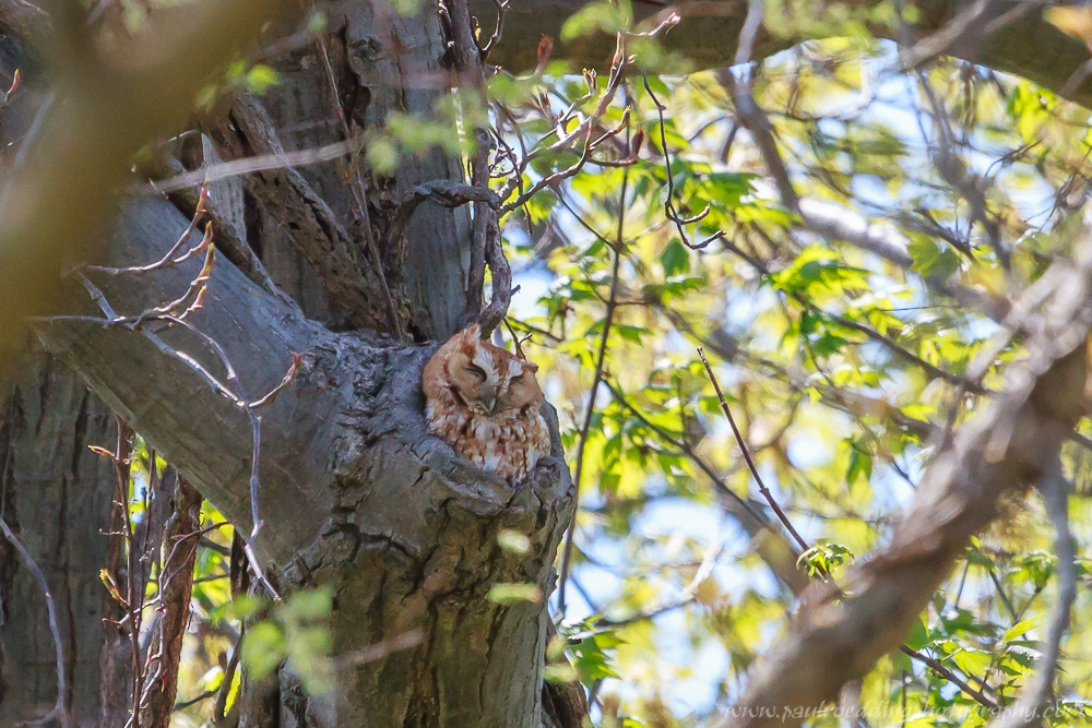 Rufous morph Eastern Screech-Owl 2015 Festival of Birds.