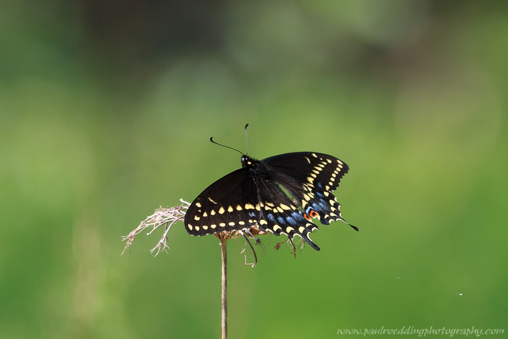 Black Swallowtail Butterfly nectaring from a Queen Anne's Lace flower.