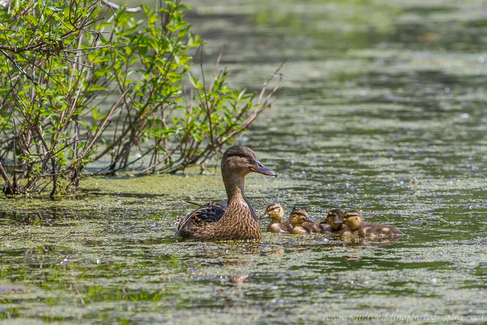 Female Mallard and her four ducklings swimming on a small pond.