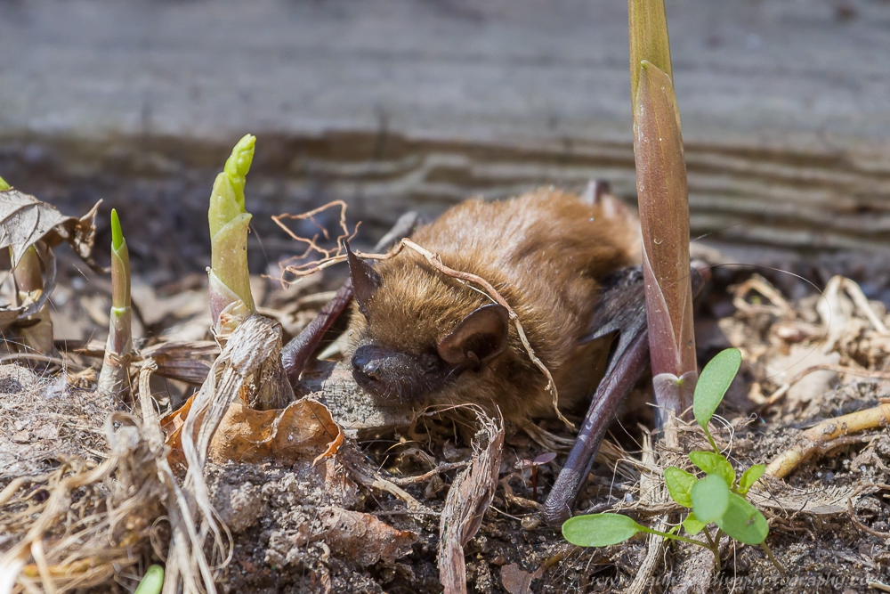 Big Brown Bat amongst fallen leaves and new spring growth, as it emerges from hibrenation.