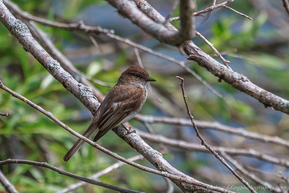 Eastern Phoebe perched on bark covered branches against a backgrop of greenery.