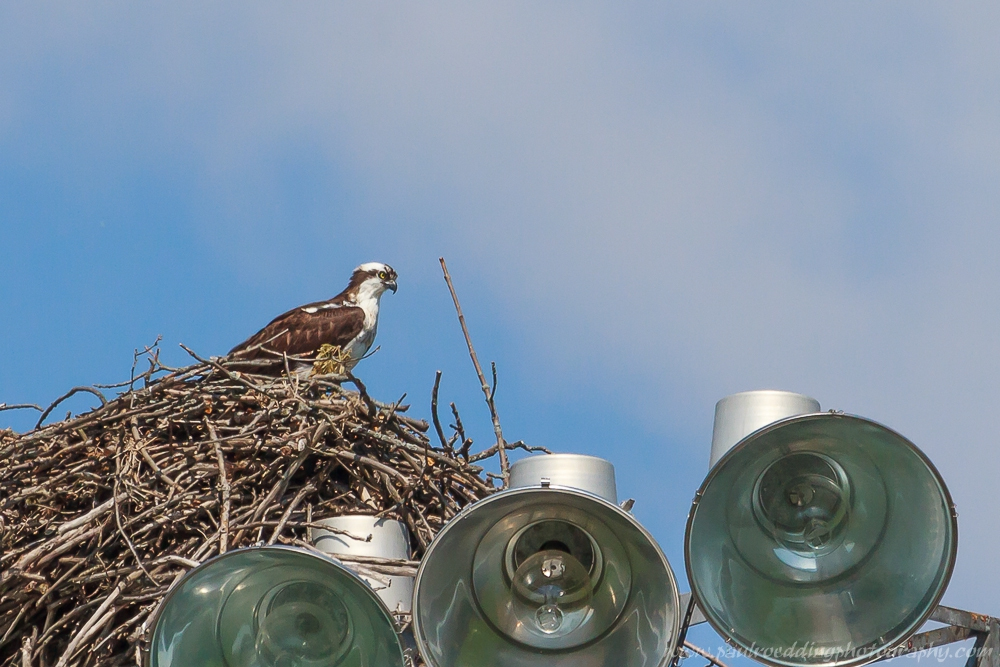 An adult Osprey sits on top of its nest overlooking the Thames River in London, Ontario
