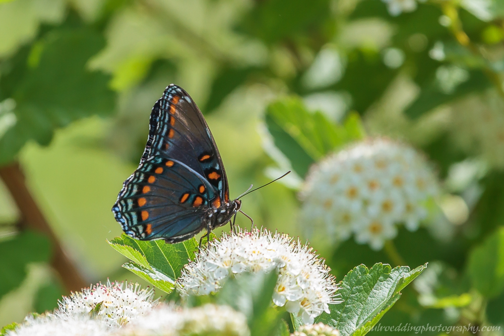 Red-spotted Purple Butterfly nectaring on a Viburnum flower.