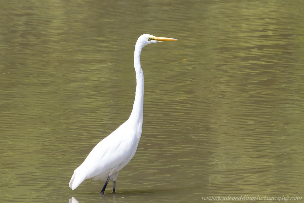 Great Egret stadin the muddy water of The Coves Lonodn, Ontario