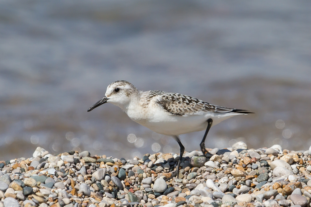 Sanderling walking amongst the colourful pebbles of a Great Lakes beach.