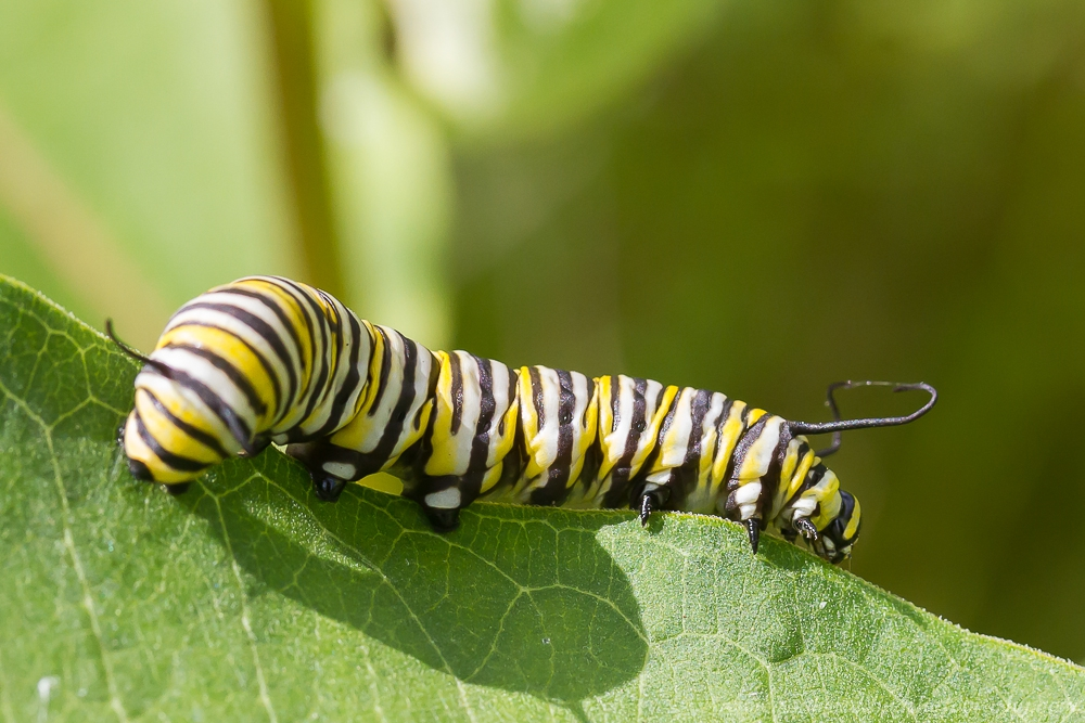 Monarch Caterpillar on edge of green Milkweed leaf.