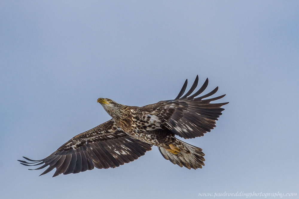 eagle 1 - Being Observant Outweighs Being Patient In Wildlife Photography