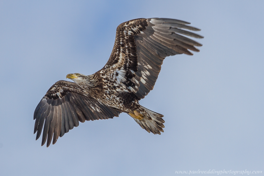 eagle 2 - Being Observant Outweighs Being Patient In Wildlife Photography