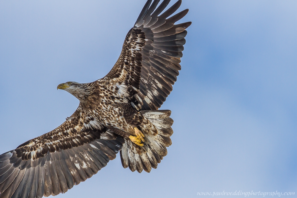 eagle 3 - Being Observant Outweighs Being Patient In Wildlife Photography