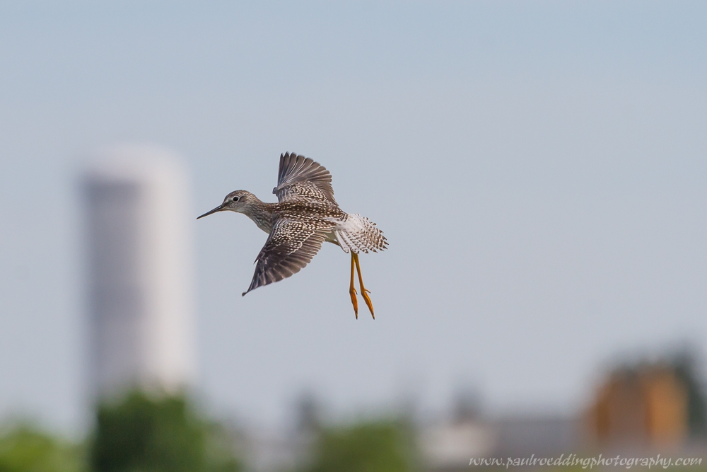 Lesser Yellowlegs preparing to land at the West Perth Wetlands with the town of Mitchell in the background.