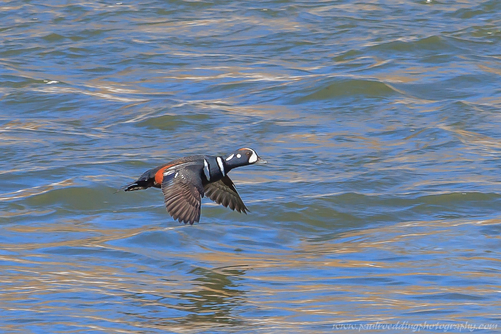harlequin - Being Observant Outweighs Being Patient In Wildlife Photography