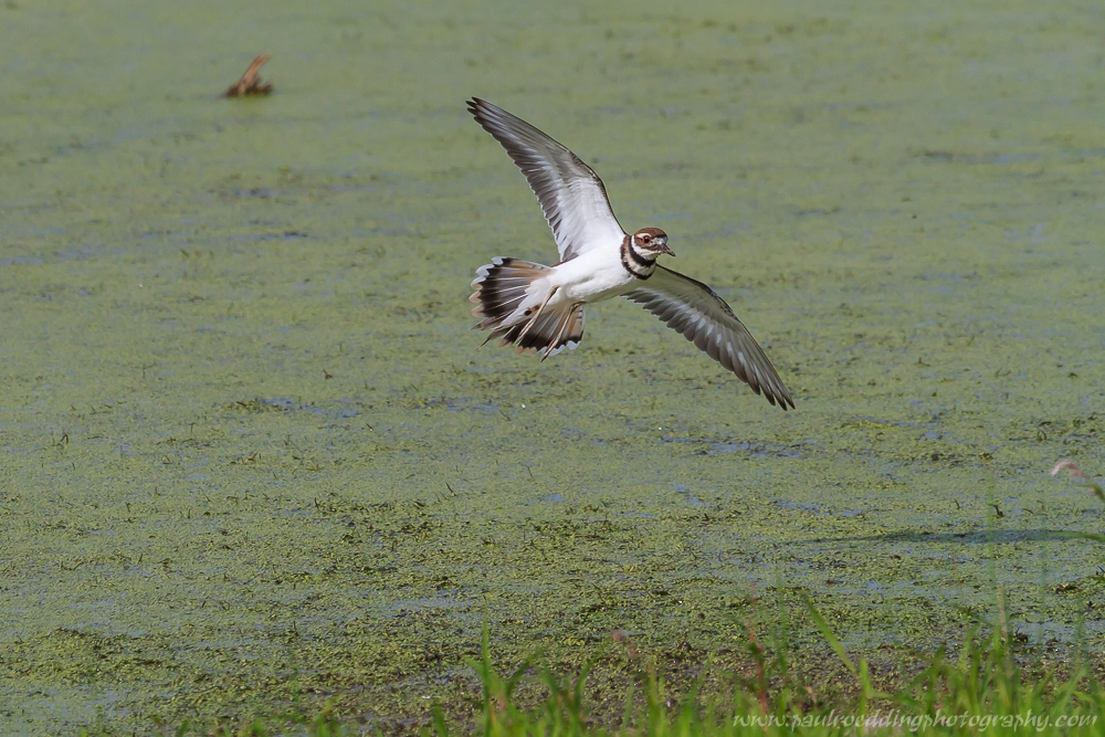 Killdeer sets its wings as it prepares to land on the muddy bank covered in duckweed and grasses.