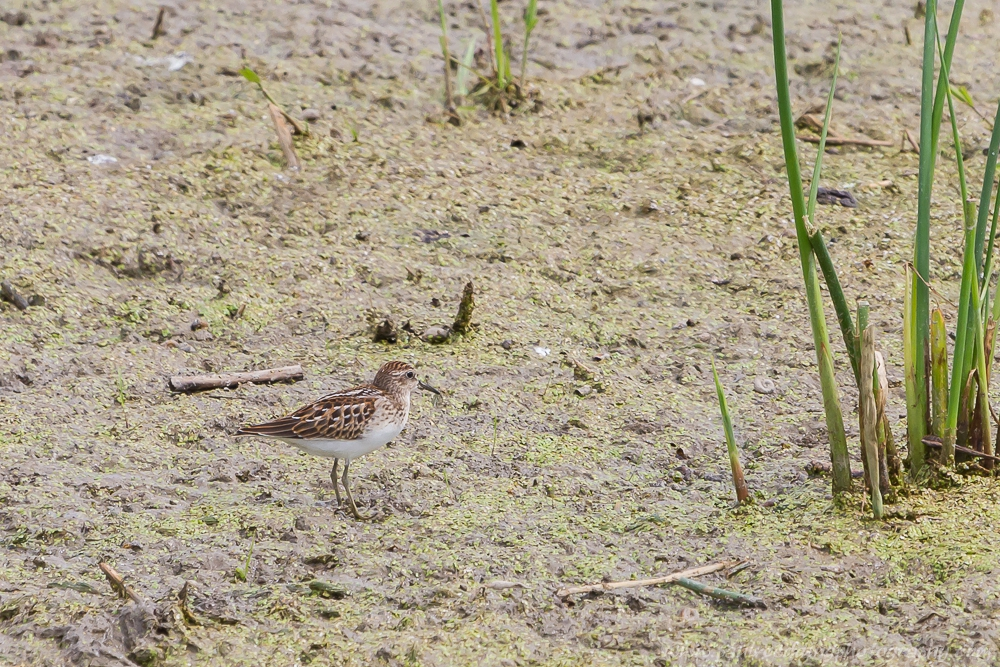 Least Sandpiper standing on a mud flat covered in duckweed.