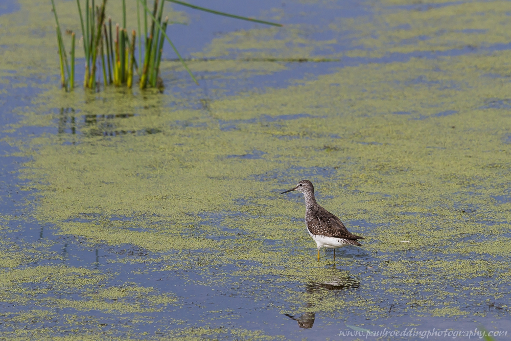 Lesser Yelllowlegs wading in shallow water covered in duckweed with bullrushes in background.