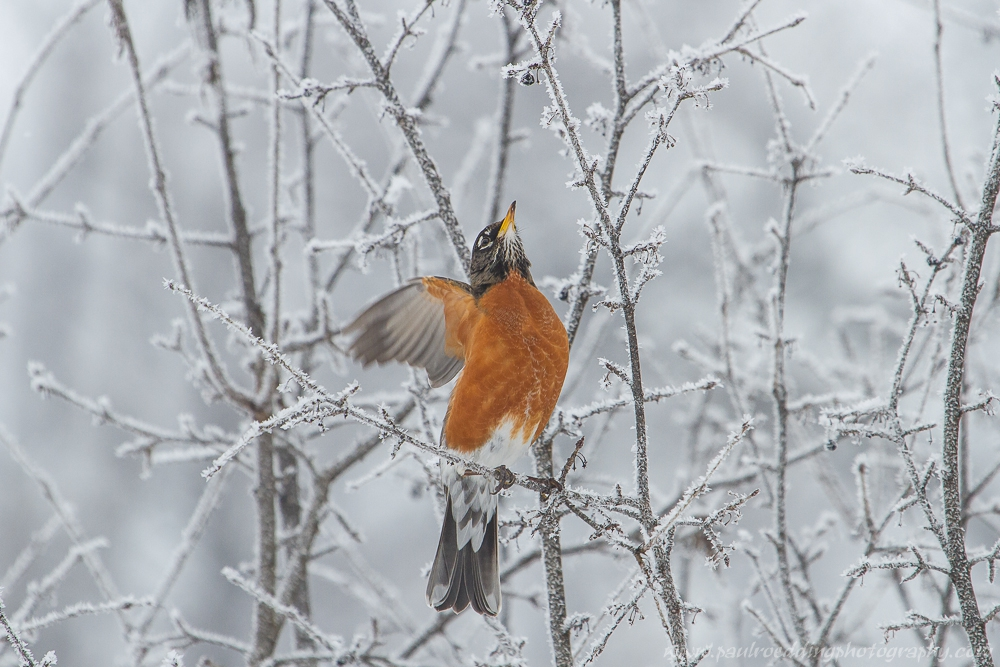 robin 2 - Being Observant Outweighs Being Patient In Wildlife Photography