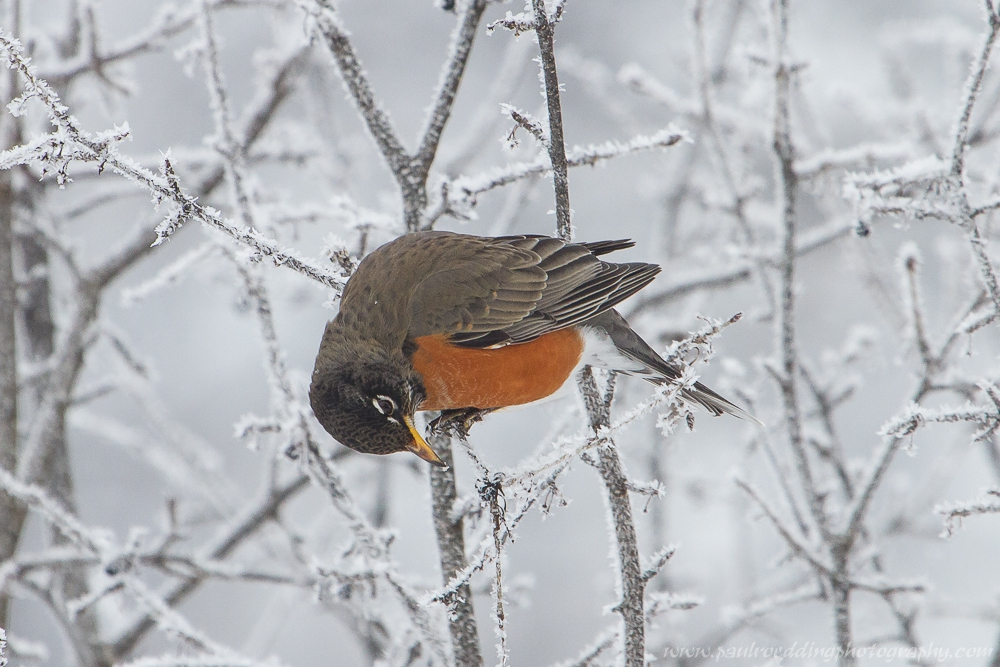 robin - Being Observant Outweighs Being Patient In Wildlife Photography