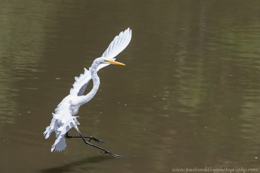 egret - Good Birding Report: London, Ontario <br> August, 28 - September 4, 2015