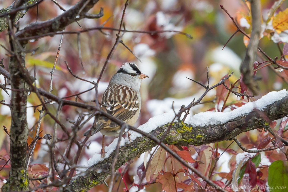 crowned - Fall Migration Heats Up In The Forest City