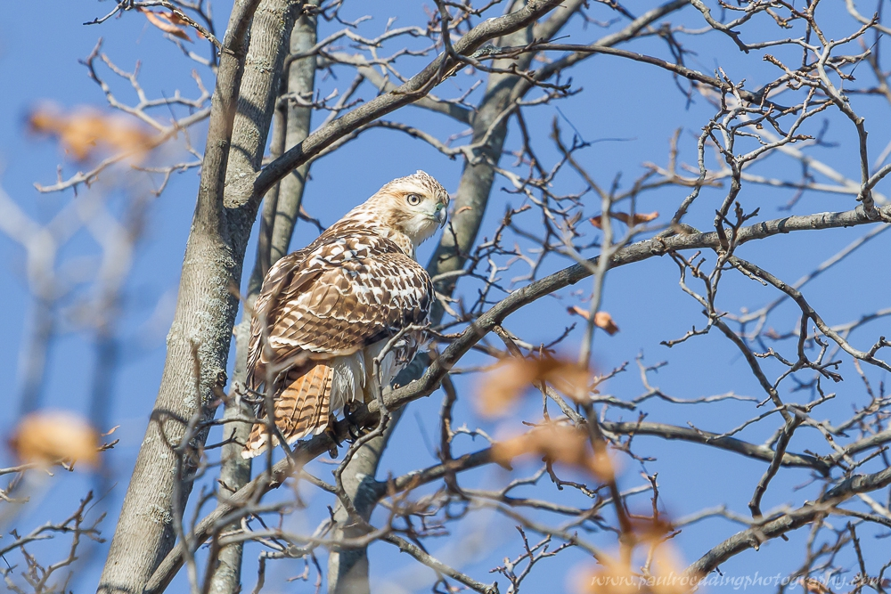 Watermark - Late Fall Is A Great Time To Observe Raptors