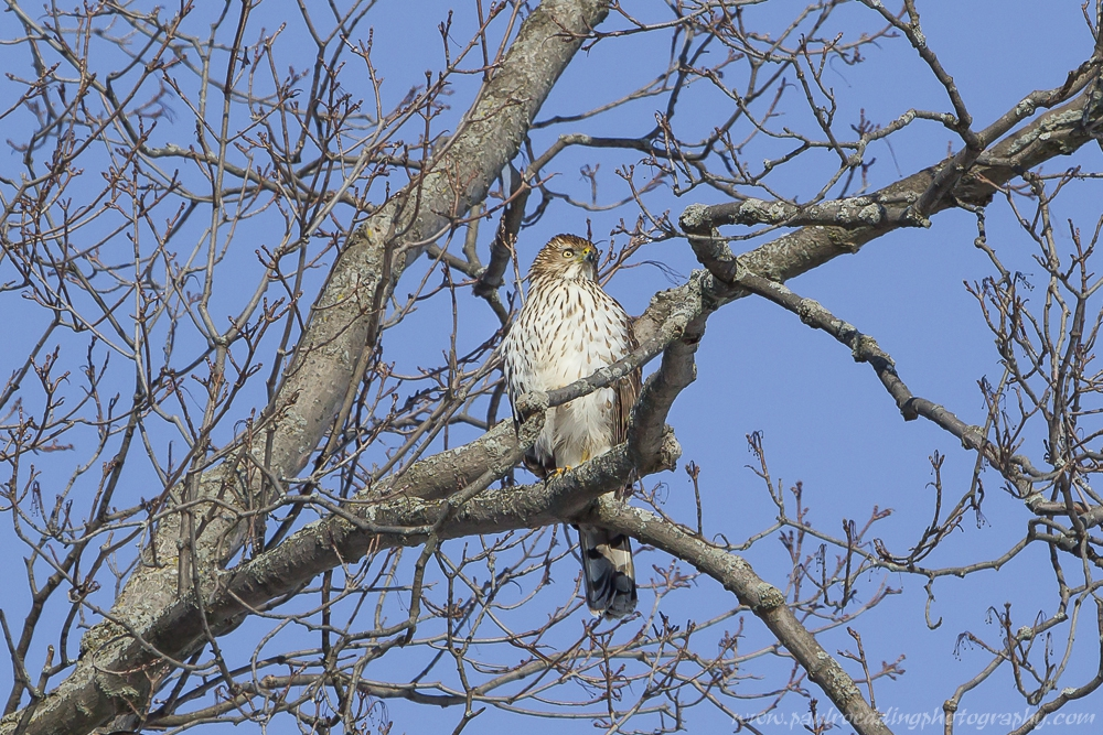 Watermark1 - Late Fall Is A Great Time To Observe Raptors