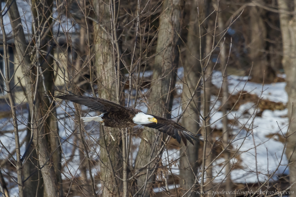 eagle - Late Fall Is A Great Time To Observe Raptors